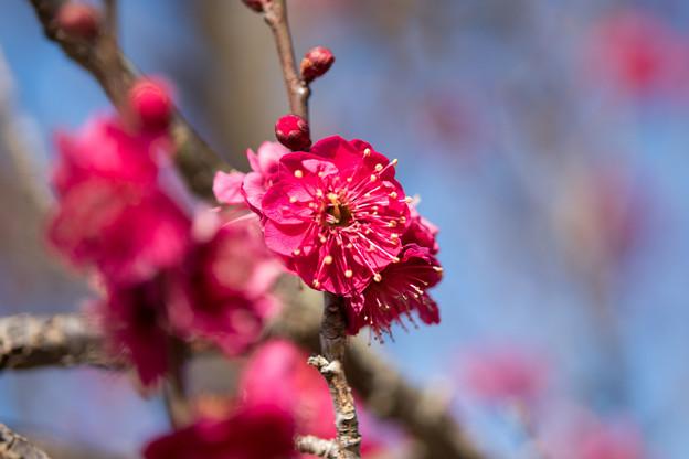小田原フラワーガーデン【梅の花:鹿児島紅】4
