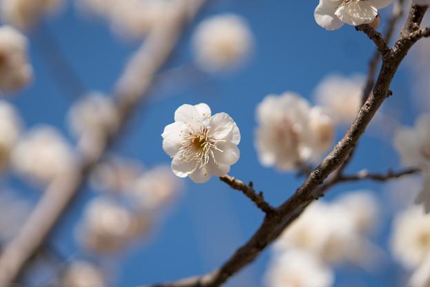 小田原フラワーガーデン【梅の花:淡路】2