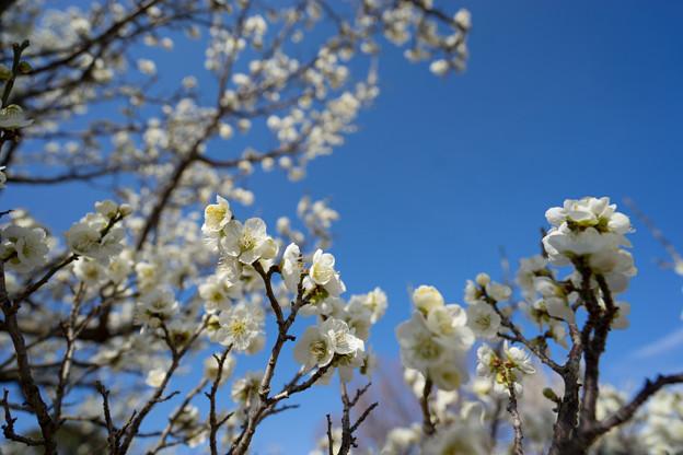 小田原フラワーガーデン【梅の花:一重緑萼】1