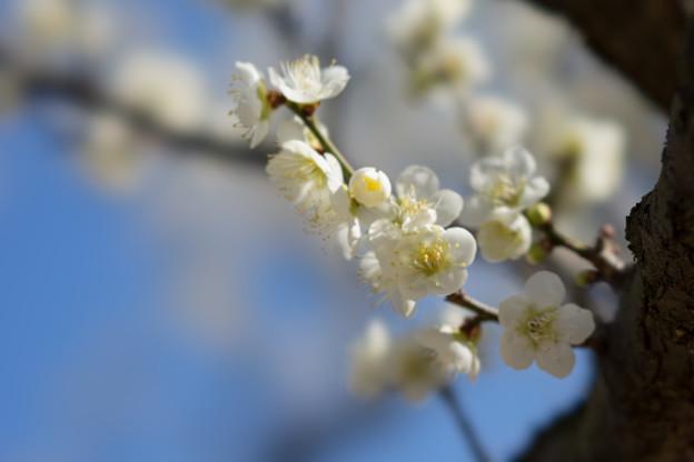 小田原フラワーガーデン【梅の花:一重緑萼】3