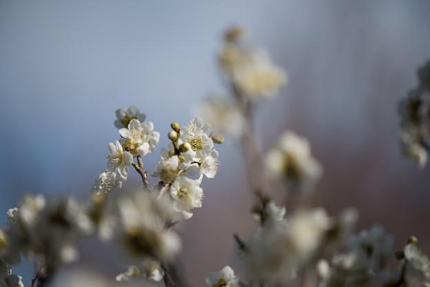 小田原フラワーガーデン【梅の花:一重緑萼】4