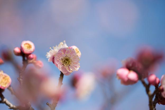 小田原フラワーガーデン【梅の花:浮牡丹】1