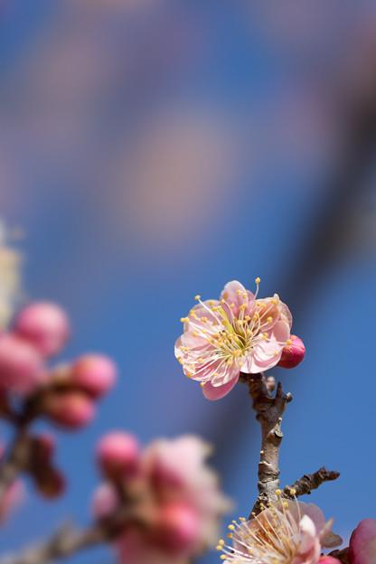 小田原フラワーガーデン【梅の花:浮牡丹】2