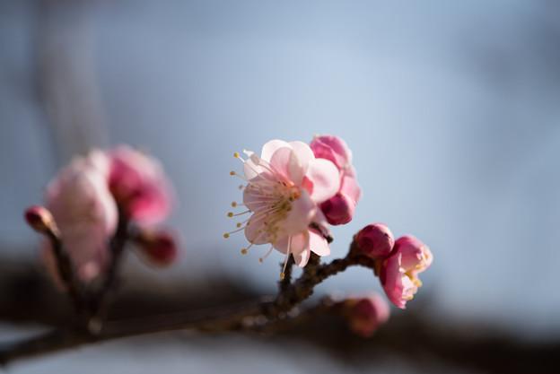 小田原フラワーガーデン【梅の花:浮牡丹】3