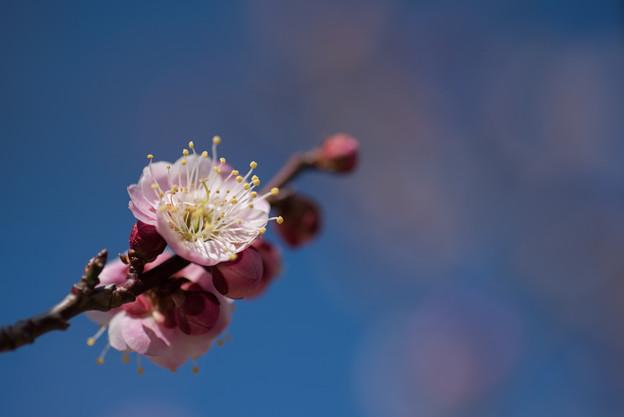 小田原フラワーガーデン【梅の花:浮牡丹】4