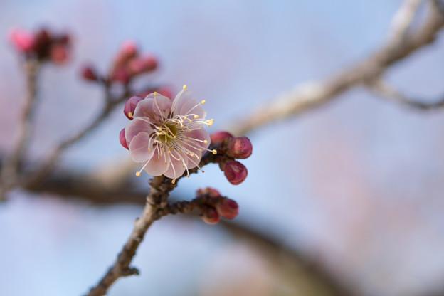 小田原フラワーガーデン【梅の花:浮牡丹】5