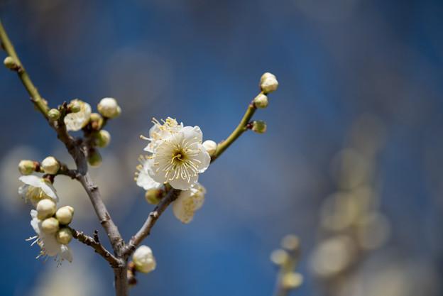 小田原フラワーガーデン【梅の花:緑萼】3
