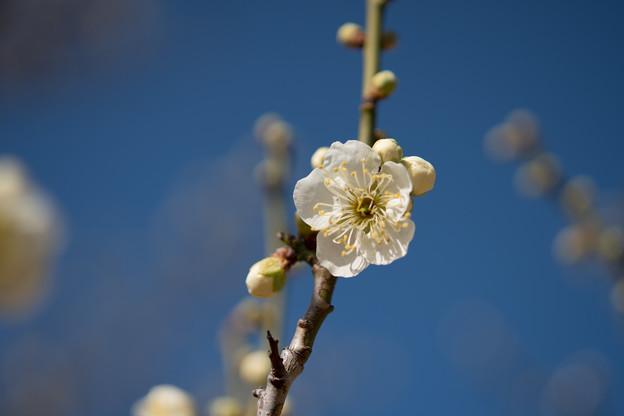 小田原フラワーガーデン【梅の花:緑萼】4