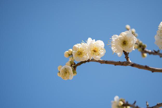 小田原フラワーガーデン【梅の花:緑萼】5