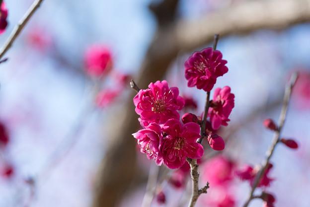 小田原フラワーガーデン【梅の花:黒雲】1