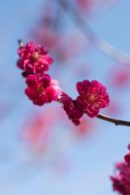 小田原フラワーガーデン【梅の花:黒雲】3