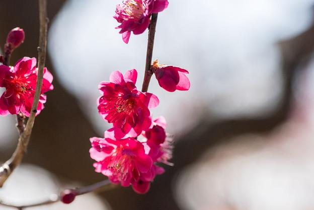 小田原フラワーガーデン【梅の花:黒雲】4