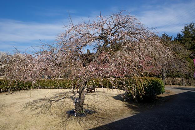 小田原フラワーガーデン【梅の花:黄門枝垂】1