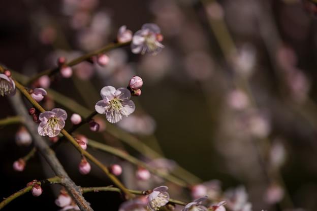 小田原フラワーガーデン【梅の花:黄門枝垂】4