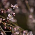 写真: 小田原フラワーガーデン【梅の花:黄門枝垂】4