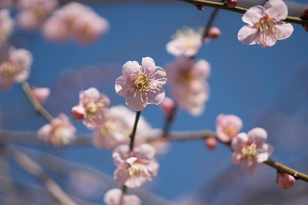 小田原フラワーガーデン【梅の花:黄門枝垂】5