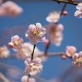 写真: 小田原フラワーガーデン【梅の花:黄門枝垂】5