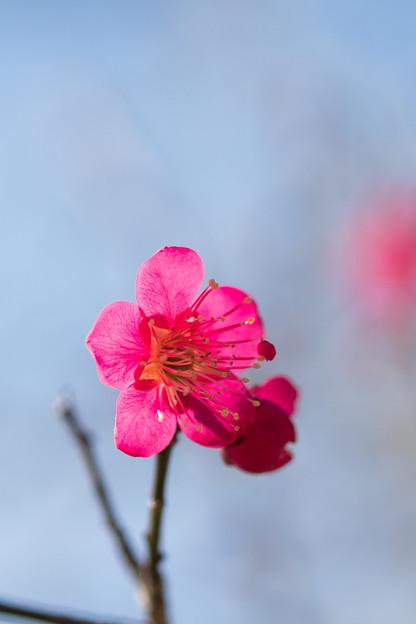 小田原フラワーガーデン【梅の花:紅千鳥】4