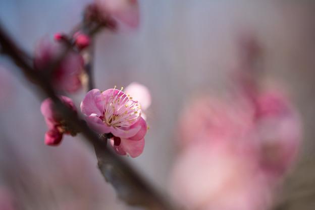 小田原フラワーガーデン【梅の花:古金欄】1