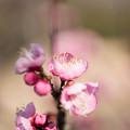写真: 小田原フラワーガーデン【梅の花:古金欄】3
