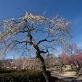 写真: 小田原フラワーガーデン【梅の花:淡路枝垂】1