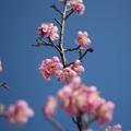 写真: 小田原フラワーガーデン【梅の花:大湊】1