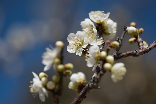 小田原フラワーガーデン【梅の花:月影】1
