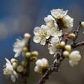 写真: 小田原フラワーガーデン【梅の花:月影】1