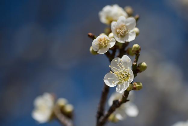 小田原フラワーガーデン【梅の花:月影】2