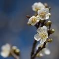 写真: 小田原フラワーガーデン【梅の花:月影】2