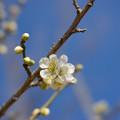 写真: 小田原フラワーガーデン【梅の花:月影】3