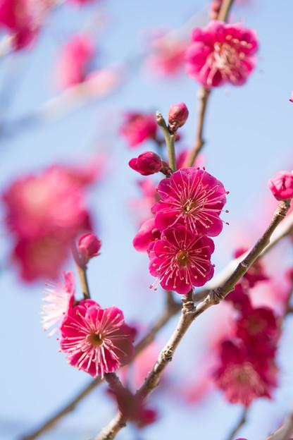 小田原フラワーガーデン【梅の花:緋の司】1