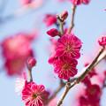 写真: 小田原フラワーガーデン【梅の花:緋の司】1
