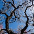 写真: 小田原フラワーガーデン【梅の花:鶯宿梅】