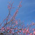 写真: 小田原フラワーガーデン【梅の花:道知辺】