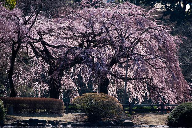 新宿御苑【枝垂れ桜: 下の池付近】1