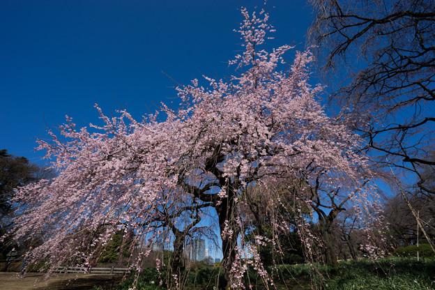 新宿御苑【枝垂れ桜: 下の池付近】2
