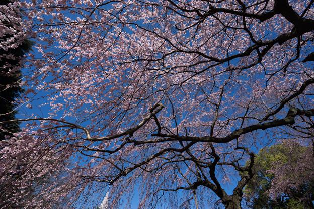 新宿御苑【枝垂れ桜: 下の池付近】5