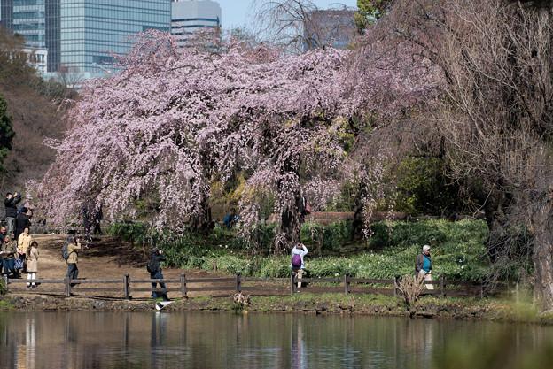 新宿御苑【枝垂れ桜: 下の池付近】7