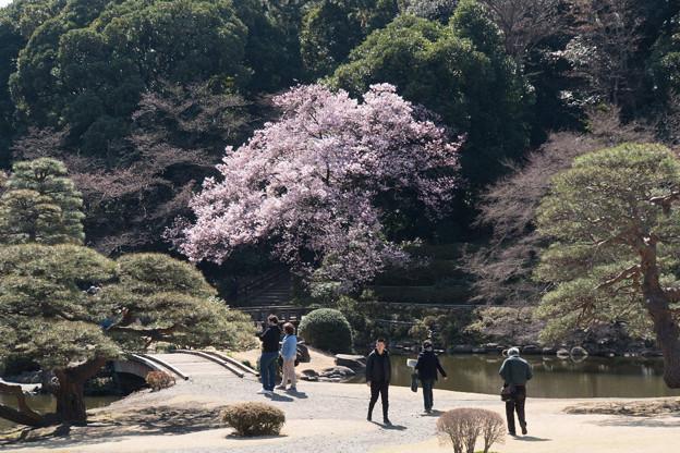 新宿御苑【高遠小彼岸桜: 玉藻池】1