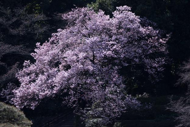 新宿御苑【高遠小彼岸桜: 玉藻池】4