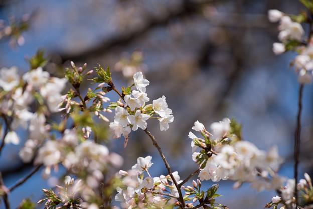 新宿御苑【大島桜】1