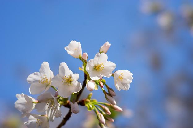 新宿御苑【大島桜】3