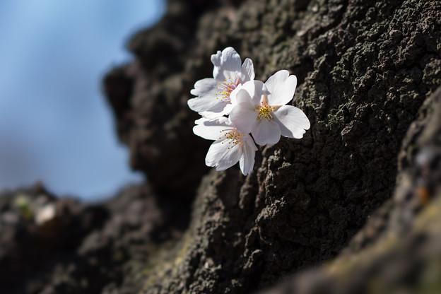 新宿御苑【染井吉野】6