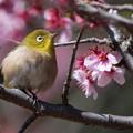 新宿御苑【寒桜とメジロ】2
