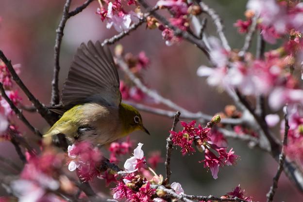 新宿御苑【寒桜とメジロ】4