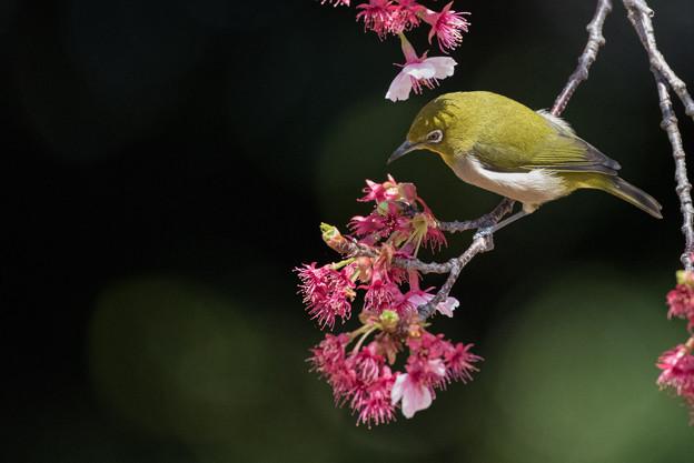 新宿御苑【寒桜とメジロ】10