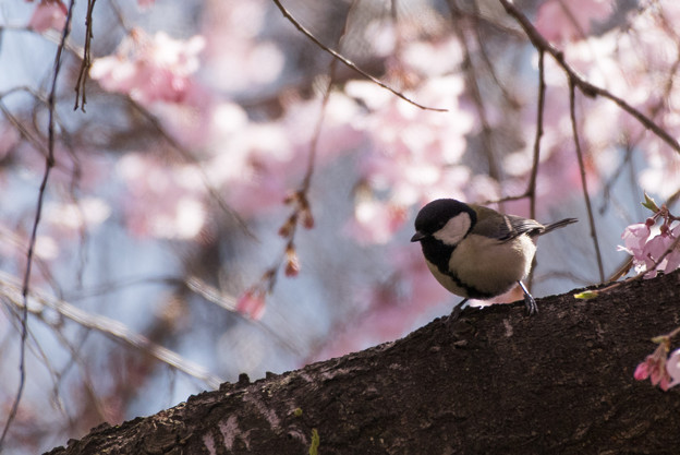 新宿御苑【野鳥: シジュウカラ】1