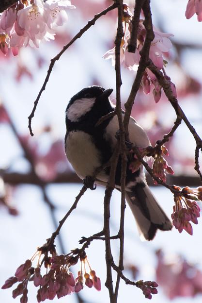 新宿御苑【野鳥: シジュウカラ】2