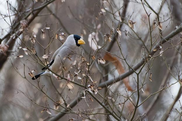 写真: 薬師池公園の野鳥【イカル】